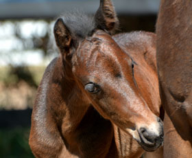 Sire Howetown Dreamcatcher (imp)  Dam Farleigh Odette sod Trellech Enigma (imp) Very fine brown colt, 2 white hind feet, exceptional quality, wealth of imported breeding.