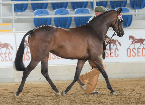 Trellech Enigma (Imp) x Lydena Recital SOD Farleigh Nimrod. Champion Led Show Pony Filly at QRPS