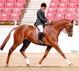 Sire Tierce Dam Interiors [Century] Royal Show Supreme Champion and multiple Royal Show winner in hand and under saddle. Dam of Farleigh Tarquin, Farleigh Oriana, Farleigh Onyx, Farleigh Clementine and Farleigh Fabian