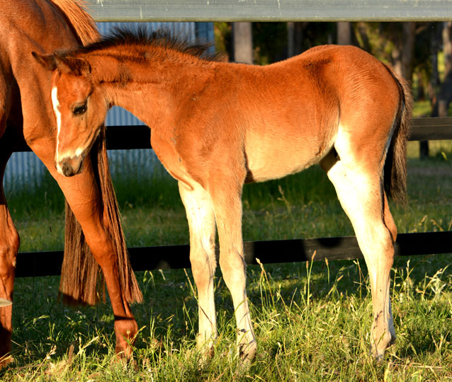 S: Howetown Dreamcatcher (imp) D: Sanlirra Royal Star. Colt with fine white blaze to make galloway