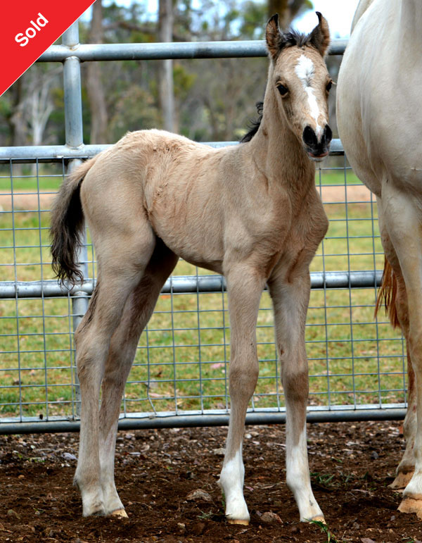 Howetown Dreamcatcher (imp) x Amaranda Abomination, sod Trentlyn Platinum.  Buckskin filly.