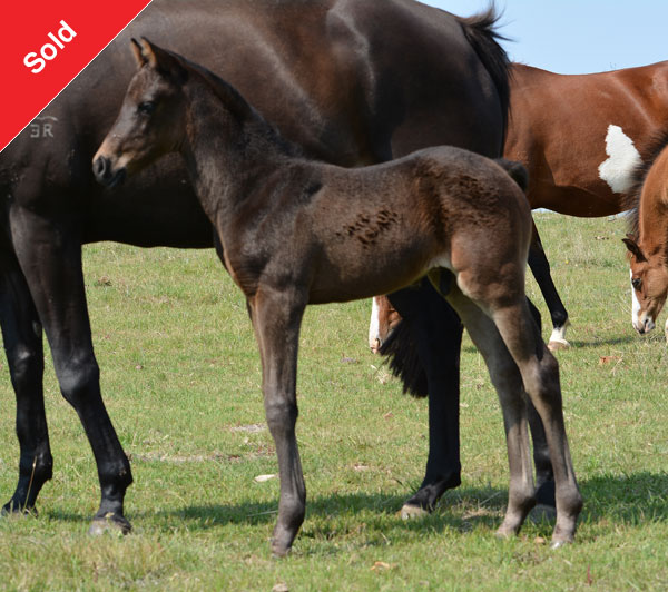 Howetown Dreamcatcher (imp) x Clemson Sienna, sod Farleigh Nimrod.  Black/brown colt, to make galloway.