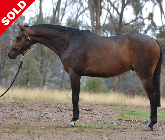 S: Howetown Dreamcatcher (imp) D: Karanah Park Heaven's Gift, AI UK sod Royal Ensign of Trellech Stunning black/brown colt with superb breeding