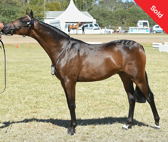 Howetown Dreamcatcher (imp) x Farleigh Carinthia. Magnificent colt with looks and movement to burn. Champion and Res Ch at Toowoomba Royal and Res Ch at Northern NSW Hack Championships.