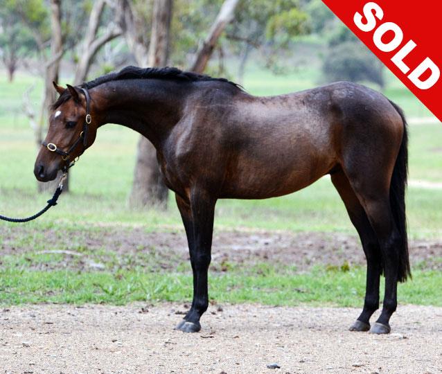 S: Trellech Enigma (imp)  D: Farleigh Manon  SOD Farleigh Nimrod.  A beautiful colt from Grand National winner Farleigh Manon