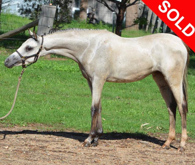 Howetown Dreamcatcher (imp) x Amaranda Abomination SOD Trentlyn Platinum  Exceptionally pretty buckskin filly to make large pony / small galloway.