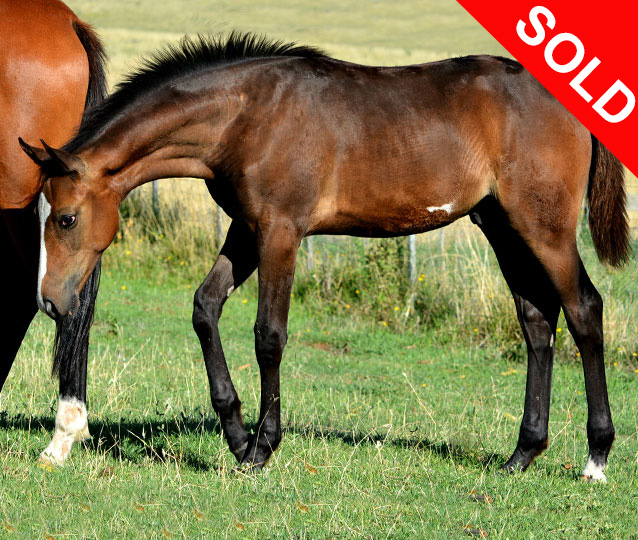 S: Howetown Dreamcatcher (imp)  D: Little G Royal Affair.  An imposing and impressive colt to make large galloway